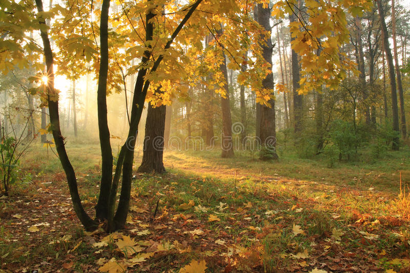 Download Misty Sunrise In Forest Stock Image - Image: 22341981
