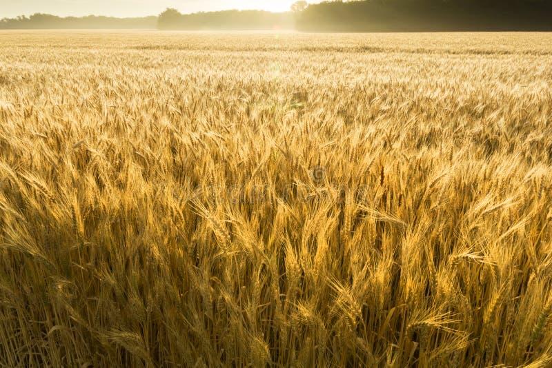 Misty Sunrise Over Golden Wheat fält i centrala Kansas arkivfoto