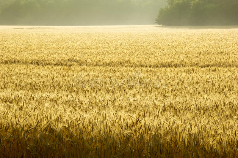 Misty Sunrise Over Golden Wheat Field in Central Kansas. This field of wheat in central Kansas is nearly ready for harvest. An unusual misty morning added a low stock photos