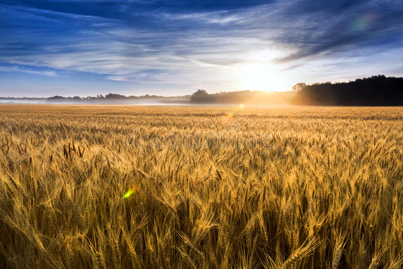 Misty Sunrise Over Golden Wheat-Gebied in Centraal Kansas royalty-vrije stock afbeelding