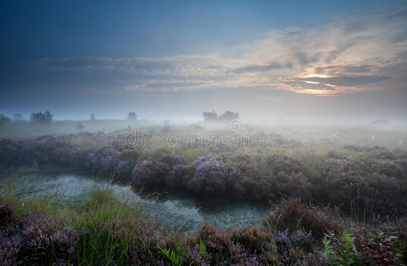 Misty sunrise over swamp with flowering heather stock photos