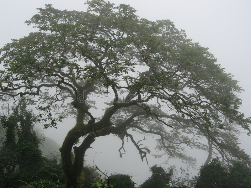 Misty Tree. Beautiful tree and shapes of branches in morning mist stock photography