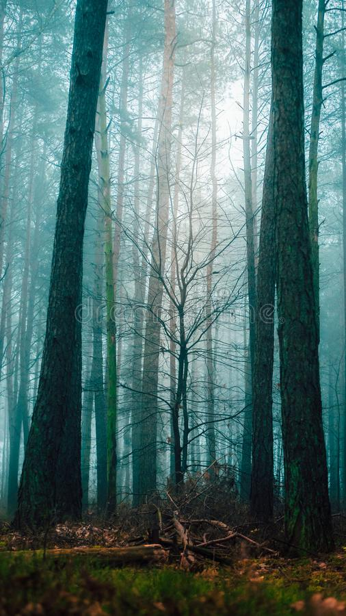 Misty tree in moody forest. Autumn walk in the dense foggy chilly morning royalty free stock photography