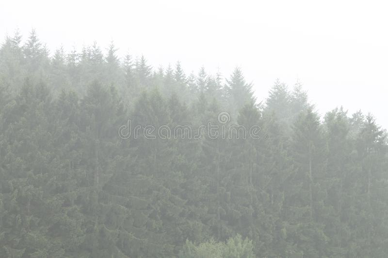 Pine trees Perfectly lined up in the mist. Perfectly lined up pine trees in a misty forest in the Belgium Ardennes stock photos
