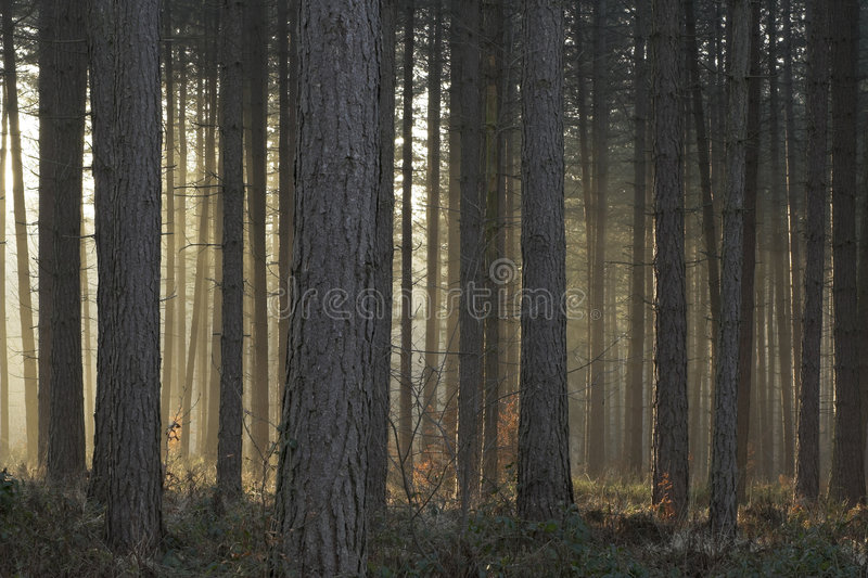 Download Misty Trees Lit By Setting Sun Stock Photo - Image: 1126544