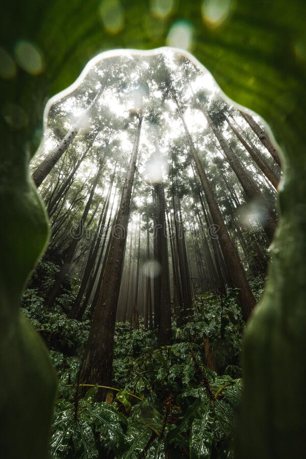 Free Misty Wet Rainforest With Dominant Tree Royalty Free Stock Images - 173004379