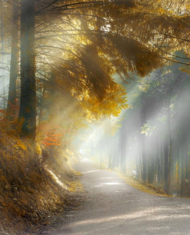 Misty Woodland Walk, con los rayos del sol a través de árboles de pino hermosos, bosque de Cardinham, Cornualles fotos de archivo libres de regalías
