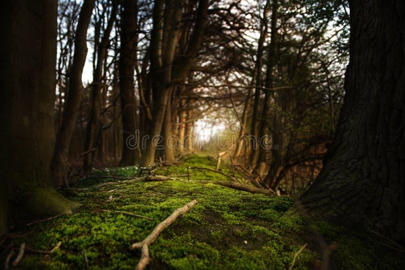Mistyczny lasowy footpath z mech prowadzi między ciemnymi drzewami t fotografia stock