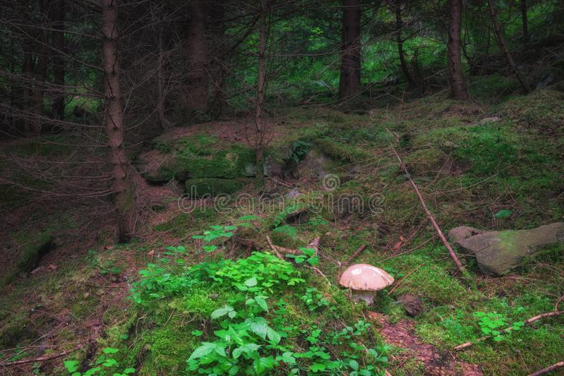 Mistyczny wysokogórskiej jodły las z zieloną trawą i uroczy borowiki my rozrastamy się zdjęcie stock