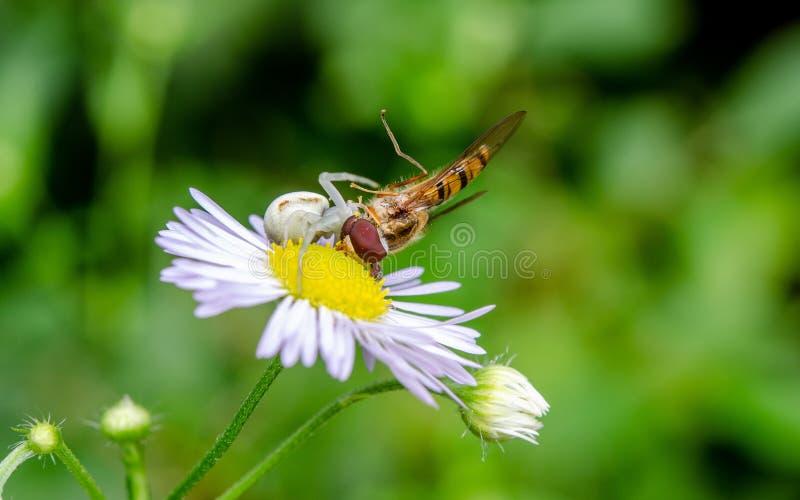 Misumena vatia, flower spider on a Erigeron flower Subcarpathian region, Poland. Misumena vatia is a species of crab spider with holarctic distribution. In North stock image