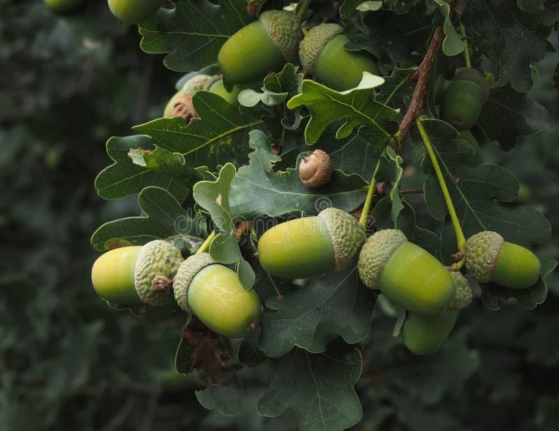 Eichelbaum