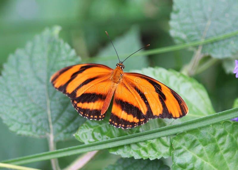 Mit einem Band versehener orange heliconian Schmetterling, Dryadula-phaetusa stockfotografie