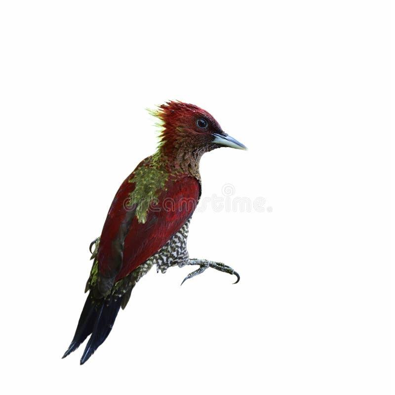 Mit einem Band versehener Specht u. x28; Chrysophlegma-miniaceum& x29; schöner roter Vogel g stockbilder