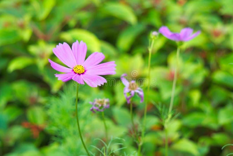 Mit einer gelben Mitte schön betäuben, reizend, dennoch einfache, hellpurpurne Blumen, oben knallend von ihren Umgebungen, in ein lizenzfreie stockfotografie