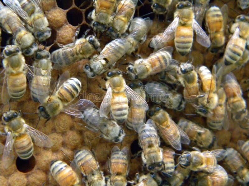 Mit einer Kappe bedeckter Honey Bee Brood stockbilder