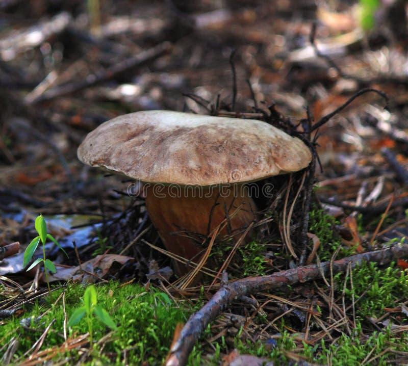 Mit einer Kappe bedeckter Pilz lizenzfreie stockfotos