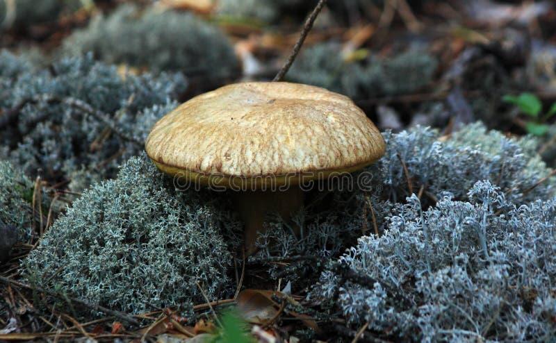 Mit einer Kappe bedeckter Pilz stockfotos