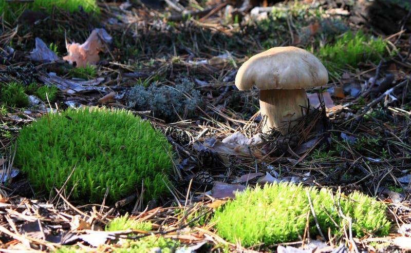 Mit einer Kappe bedeckter Pilz stockbilder