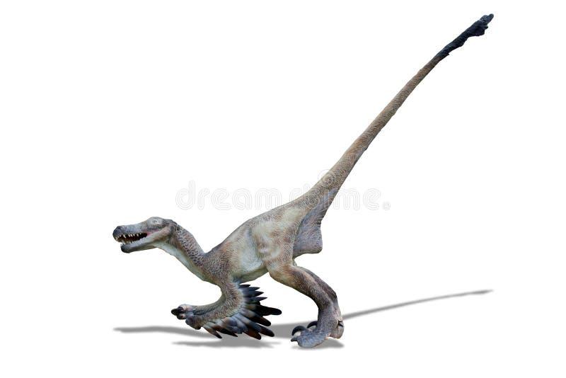 Mit Federn versehener Velociraptor auf dem weißen Hintergrund bereit anzugreifen lizenzfreies stockfoto
