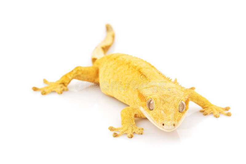 Mit Haube Gecko lizenzfreies stockfoto