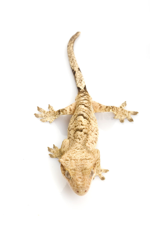 Mit Haube Gecko stockfotografie