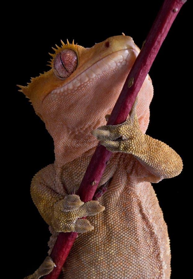 Mit Haube Gecko darunterliegend lizenzfreie stockfotos