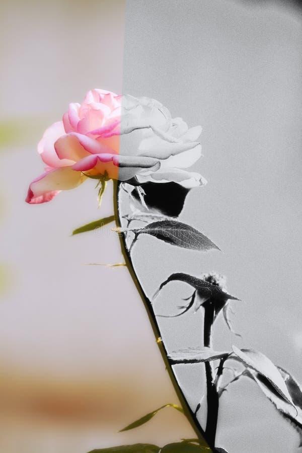 Mitad color de rosa del chino por la mitad sano y en envenenado fotos de archivo