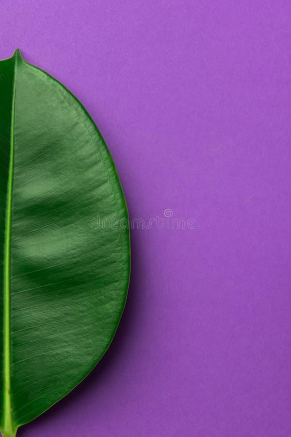 Mitad de la hoja verde fresca grande de los ficus en fondo púrpura Estilo minimalista Plantilla botánica El cultivar un huerto or fotos de archivo