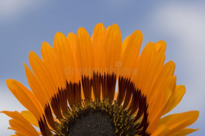 Mitad de una flor que muestra con el fondo del cielo azul foto de archivo libre de regalías