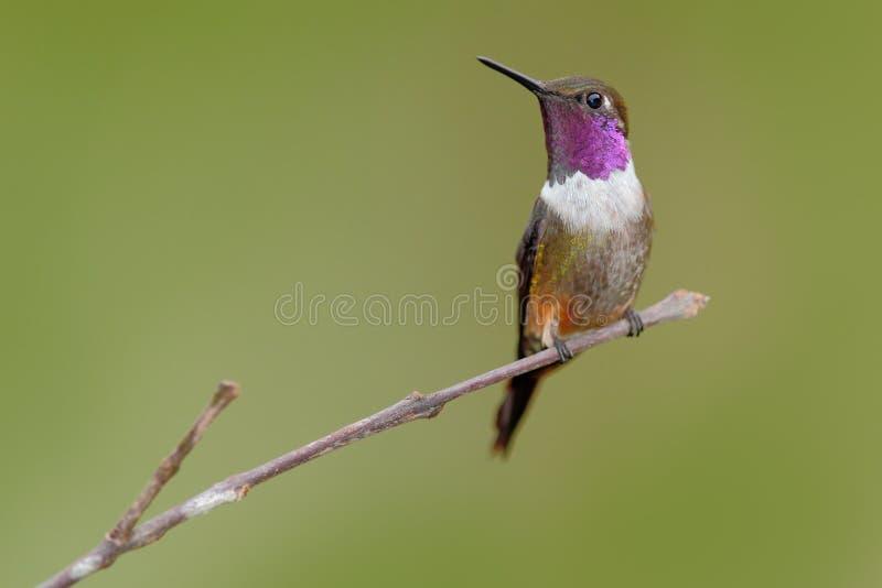 mitchellii Púrpura-throated de Woodstar, de Calliphlox, pequeño colibrí con el cuello coloreado en la flor verde y roja Pájaro en imágenes de archivo libres de regalías