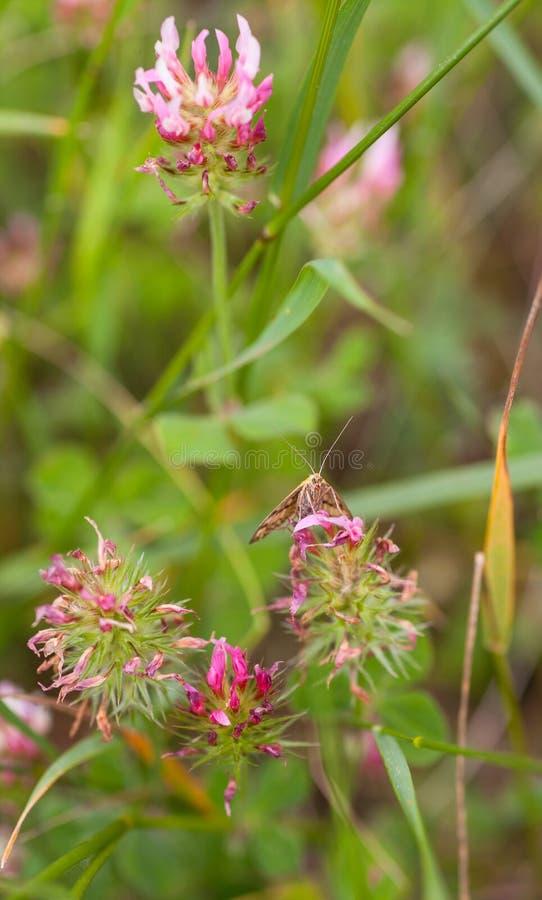 Mite active de jour sur les fleurs roses de trèfle photographie stock