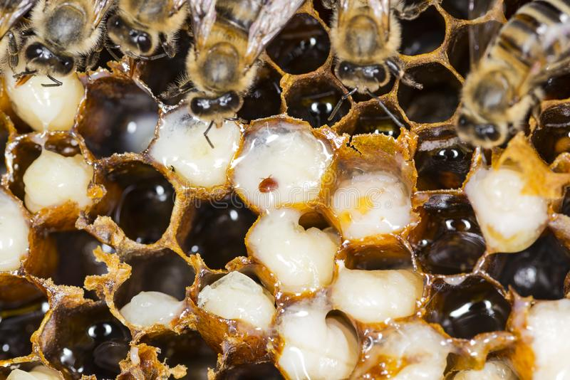 Mite in a beehive 2018 . ukreina. Mite in a beehive . 2019 stock photo