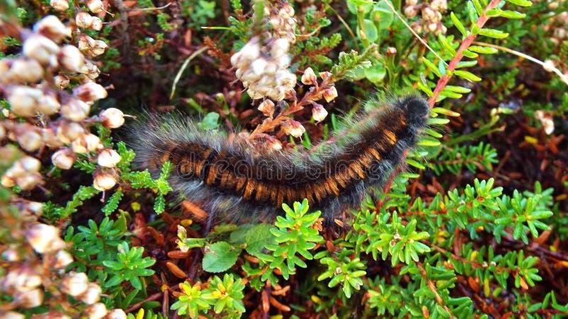 Mite Caterpillar de Fox photographie stock libre de droits