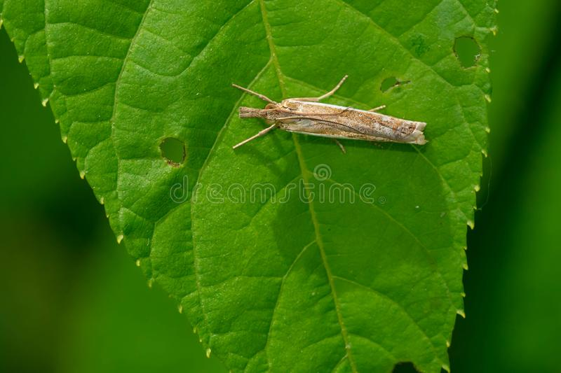 Mite commune de Herbe-placage - praefectellus de Crambus photo stock