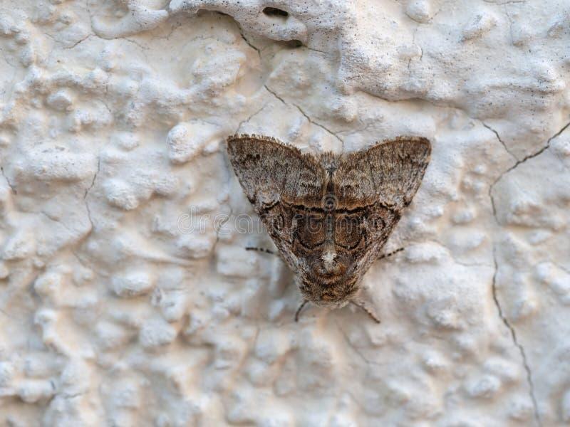 Mite de Brown sur le mur Coryii de Colocasia photographie stock libre de droits