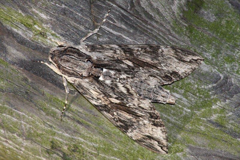 Mite de faucon (convolvuli de sphinx) photos libres de droits