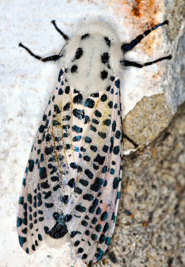 Mite de léopard photos libres de droits