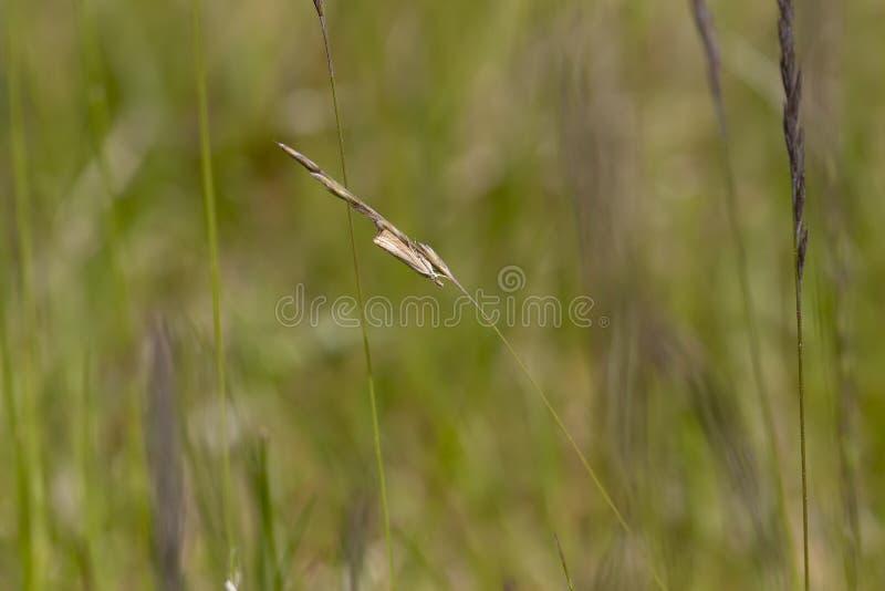 Mite de placage d'herbe de jardin, culmella de Chrysoteuchia, se reposant sur une lame d'herbe comme elle balance dans le vent lé images stock