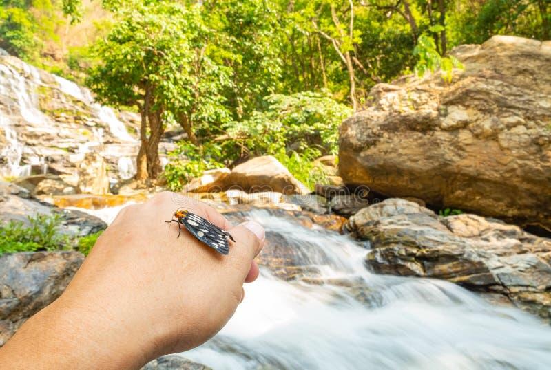 Mite de tigre sur la cascade voisine de la main de l'homme image stock