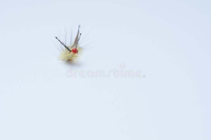 Mite de touffe marquée blanche Caterpillar photo libre de droits