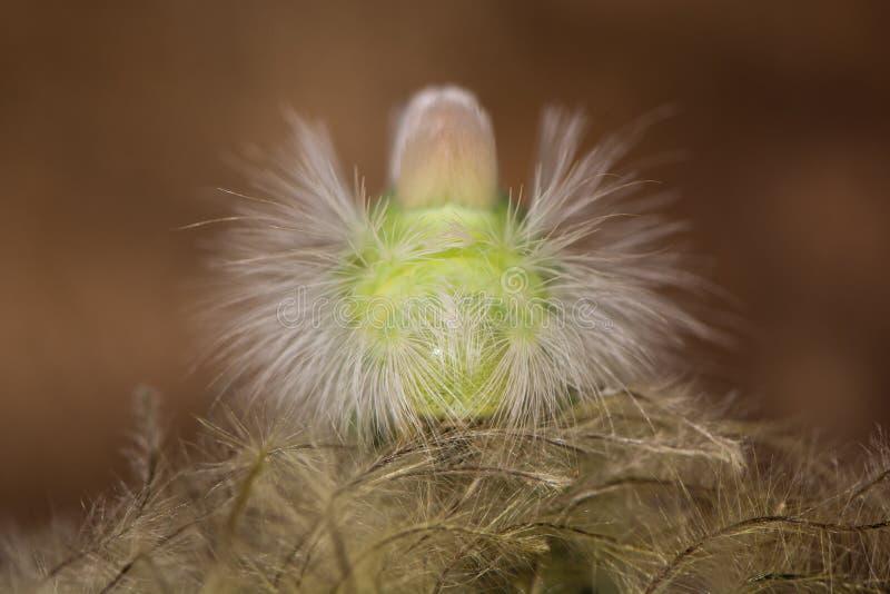 Mite de touffe pâle et x28 ; Pudibunda& x29 de Calliteara ; tête de chenille dessus photo libre de droits