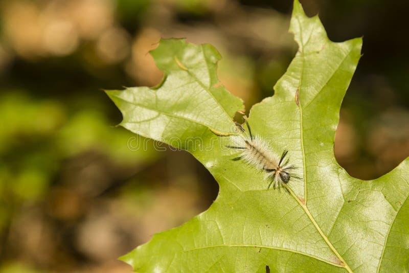 Mite de touffe réunie Caterpillar sur la feuille de chêne, dans Sun photographie stock libre de droits