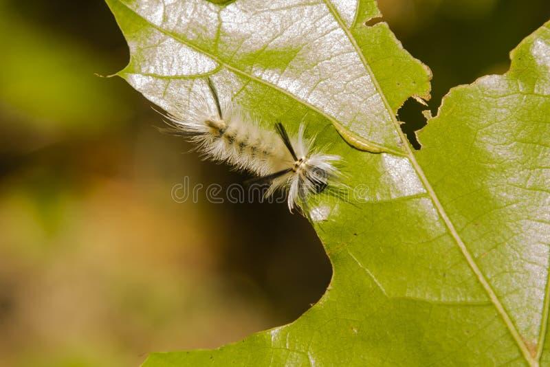Mite de touffe réunie velue Caterpillar image stock