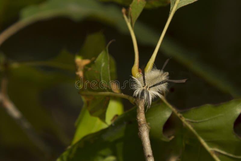 Mite de touffe réunie velue Caterpillar, vue faciale images libres de droits