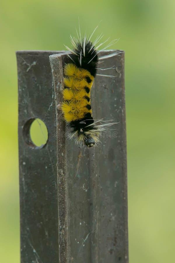 Mite de touffe repérée Caterpillar image libre de droits