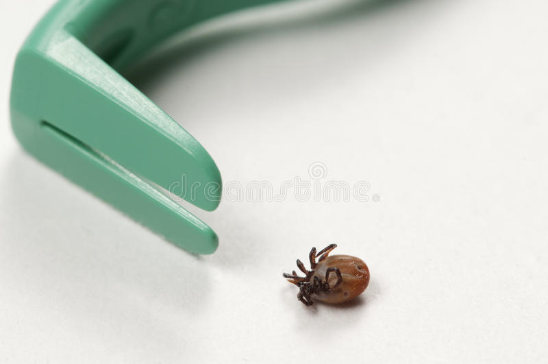 Mite and extractor tool. Mite and tick extractor tool macro shot royalty free stock photo