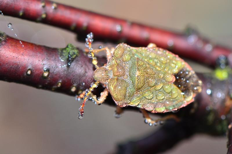 Mite. Morning rain and dew beetles turn into monsters royalty free stock photos