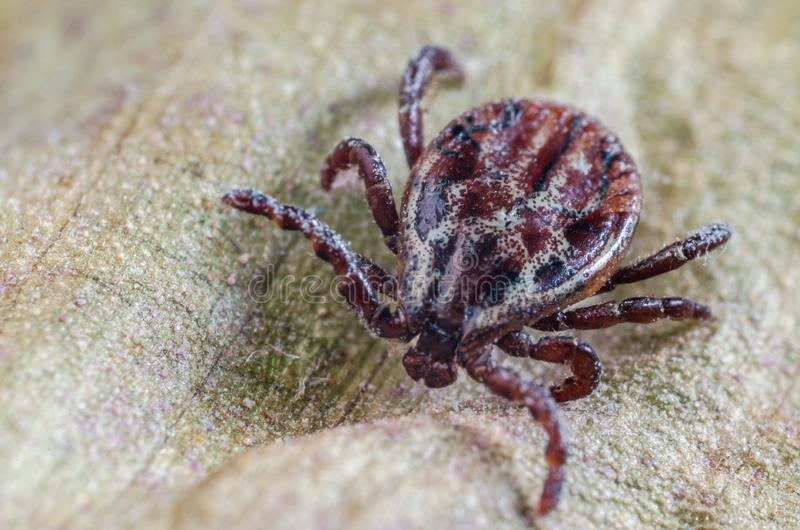 The mite sits on a dry leaf, dangerous parasite and a carrier of infections.  stock image