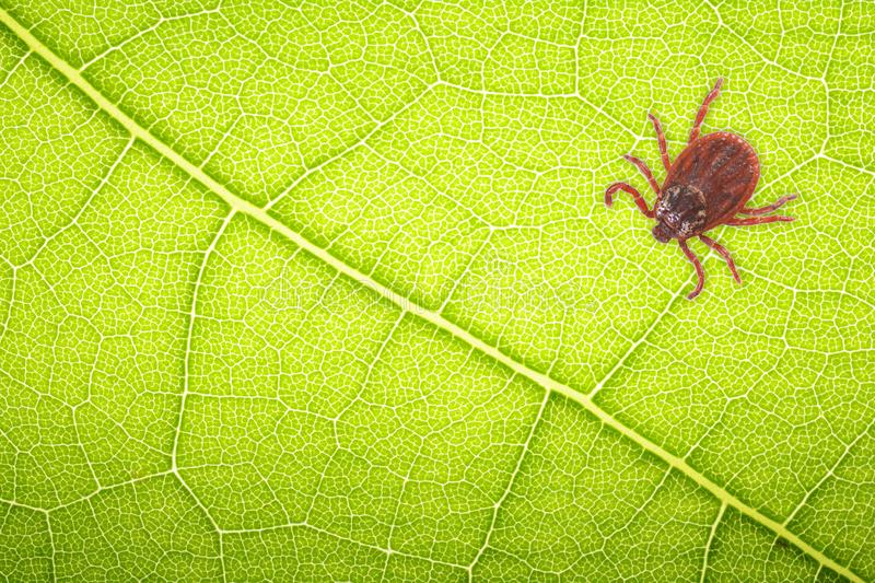 Mite sitting on a green leaf for collage with space for text . Danger of tick bite.  stock photo
