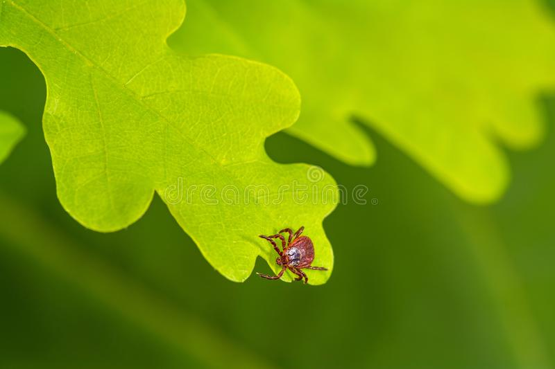 Mite sitting on a green leaf. Danger of tick bite. Parasite mite sitting on a green leaf. Danger of tick bite royalty free stock images